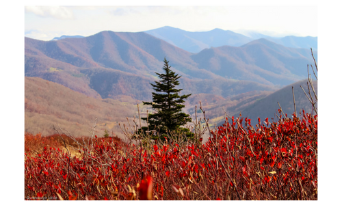 Pine on Roan Mountain in the Fall