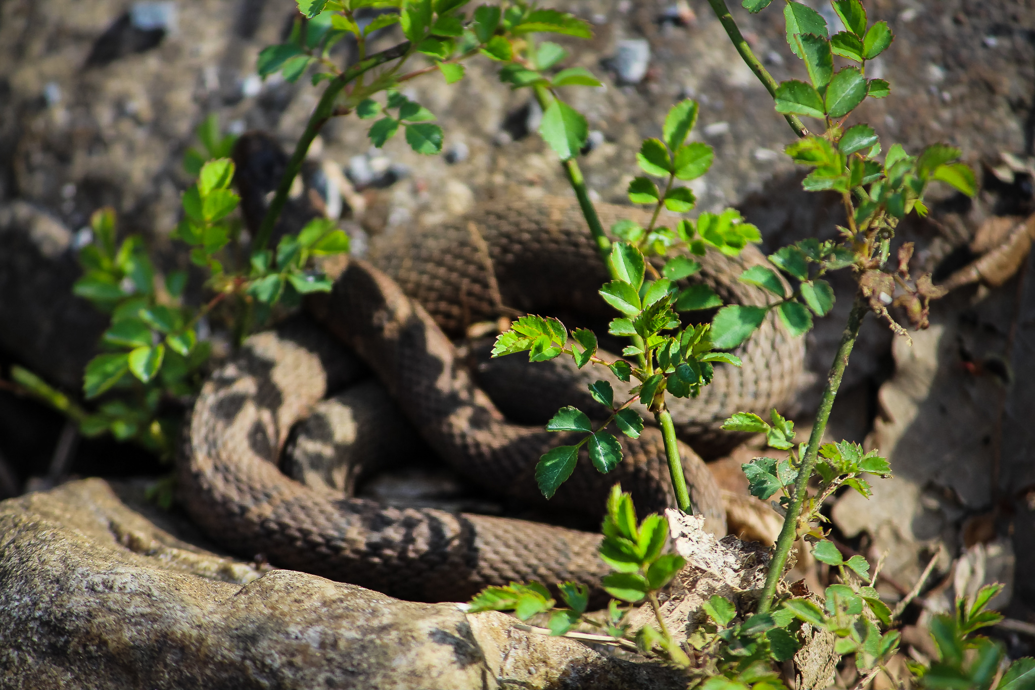 Snake at Sycamore Shoals