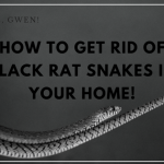 What To Do When A Black Rat Snake Moves In