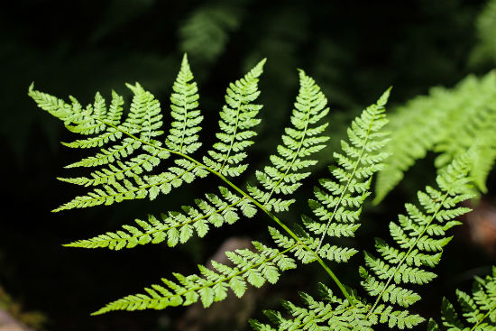 Fern On Roan Mountain