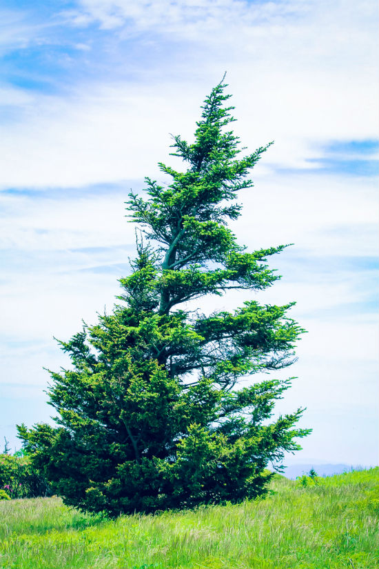 Leaning Tree On Roan Mountain