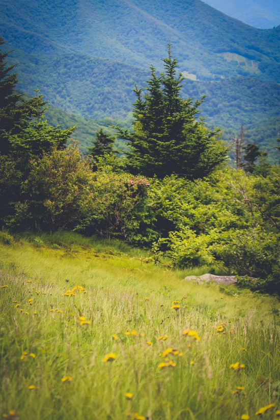 Yellow Flowers on Roan Mountain