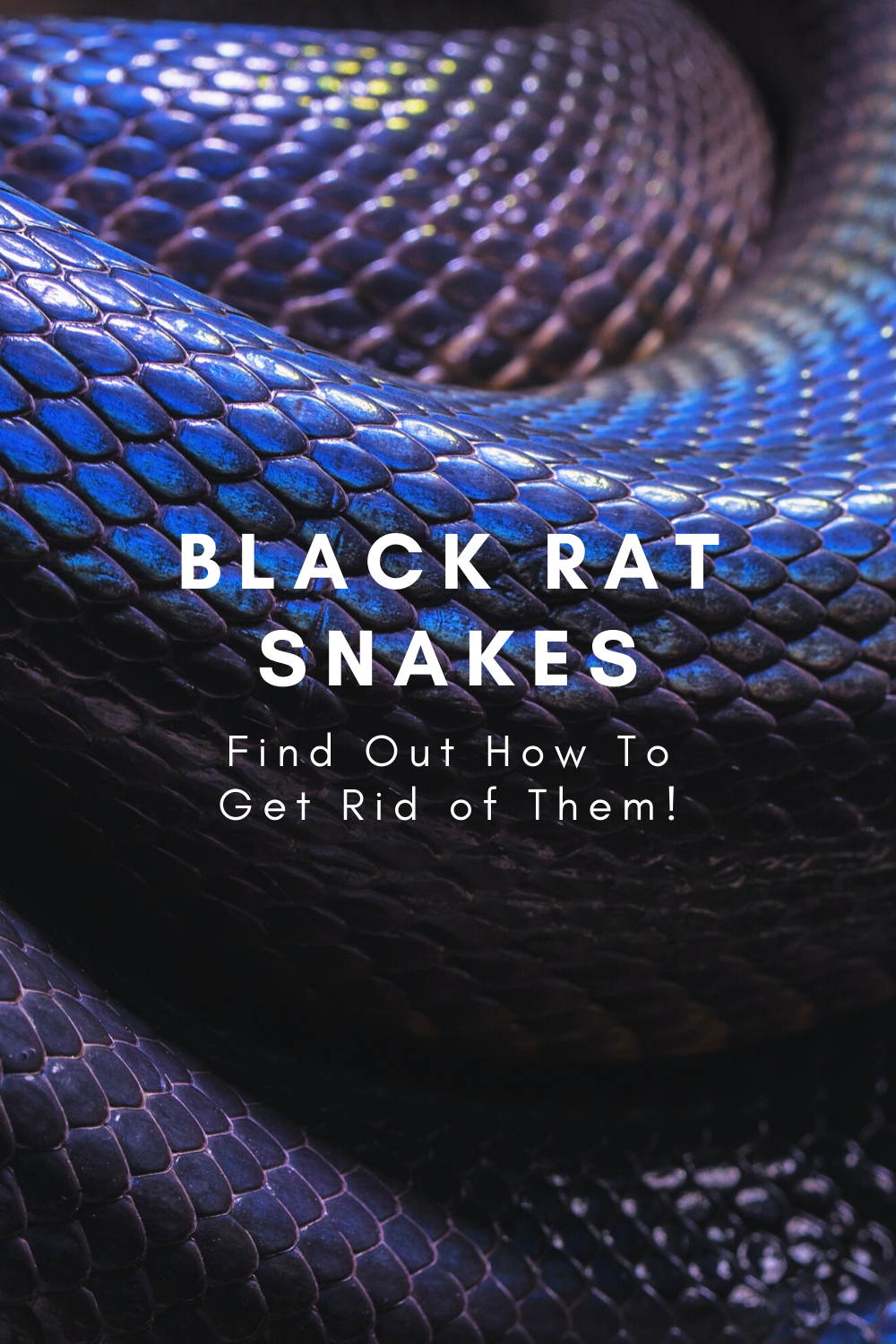 Get rid of black rat snakes