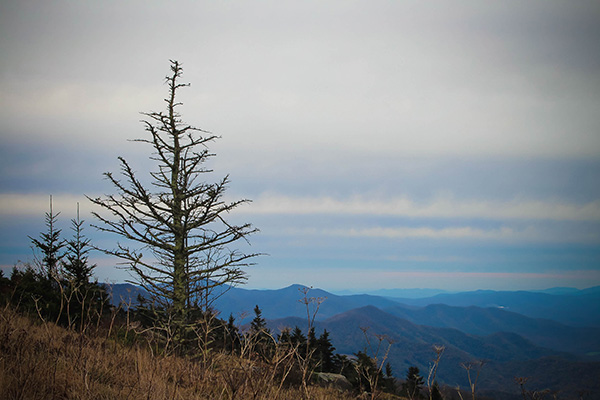 Trees on Roan Mountain
