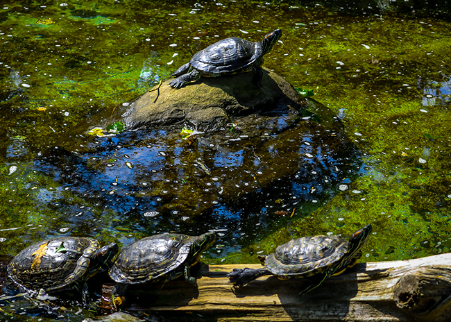 Turtles at The Blowing Rock