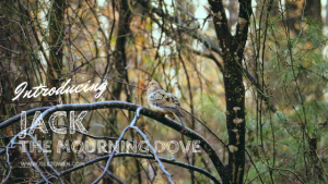 Jack The Mourning Dove