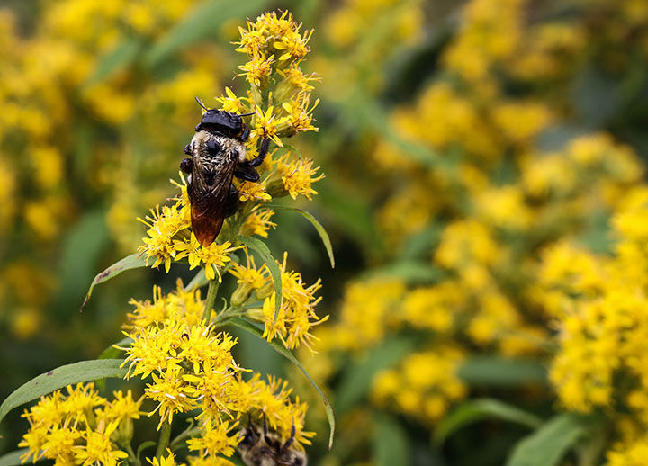 Bee on goldenrod up on Roan Mountain.