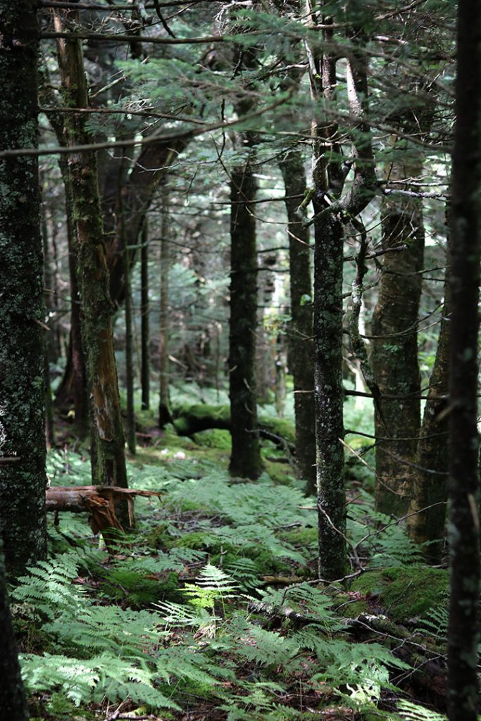 A forest full of trees marking the path up to the balds on Roan Mountain.