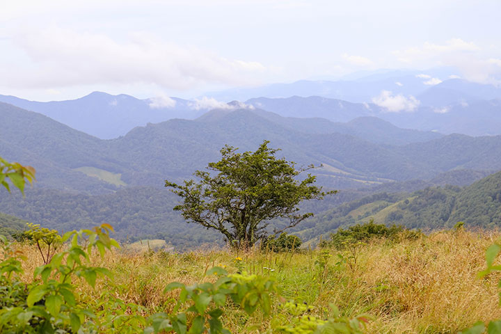 Tree on Roan Mountain surrounded by mountains and clouds.